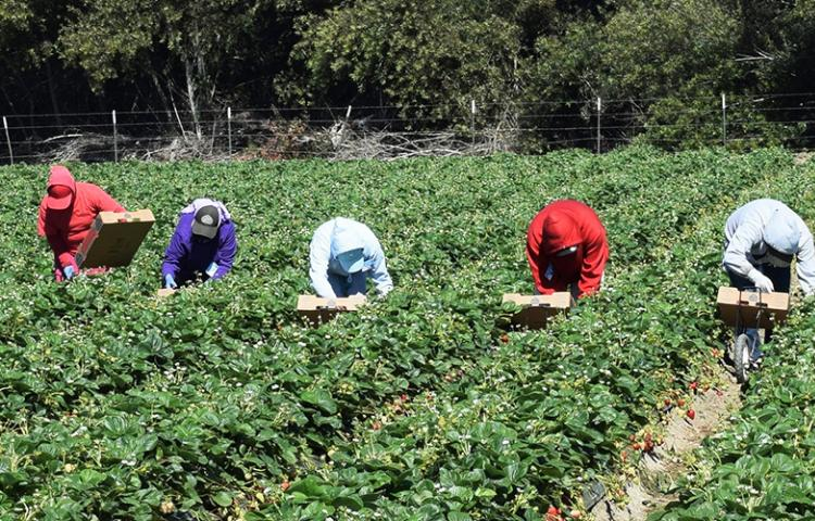 Migrant field workers in California